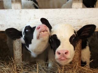 Комбикорм стартер для телят 2-6 мес (СП 17%)