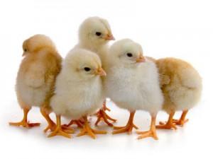 """Премикс """"ШенМикс Чикен Леер"""" 1% цыплята яичных пород"""