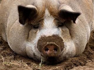 """БВМК """"ШенПіг Фініш Євро Стандарт"""" 10% (відгодівля свиней від 70 до 120 кг)"""