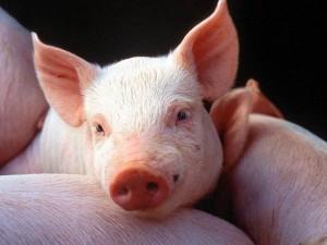 """БВМК """"ШенПіг Гровер Євро Стандарт"""" 15% (відгодівля свиней від 35 до 70 кг)"""