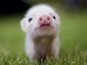 Комбікорм предстартер Golden Pig для поросят 0-8 кг (СП 22%) (мішок 25кг)