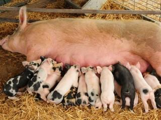 """БВМК """"ШенПіг Соу Golden Pig"""" 10-15% (супоросні та лактуючі свиноматки)"""