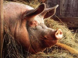 """БВМК """"ШенПіг Старт Golden Pig"""" 25% (для поросят від 8 до 35 кг)"""