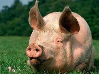 """БВМК """"ШенПіг Гров Golden Pig"""" 15% (відгодівля свиней від 35 до 70 кг)"""