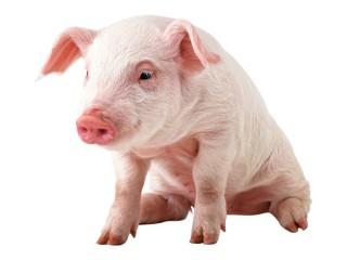 """БВМК """"Шен Піг Соу OrganiX"""" 15-10% (супоросні та лактуючі свиноматки)"""
