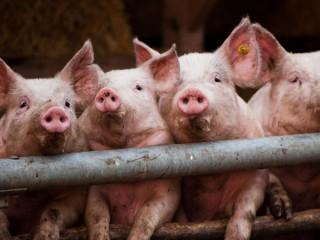 """БВМК """"ШенПіг Фін Golden Pig"""" 10% (відгодівля свиней від 70 до 120 кг)"""