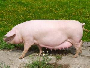 """Премикс """"ШенМикс Пиг SSL"""" 2,5-4% (супоросные и лактирующие свиноматки)"""