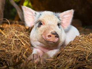 """Премикс """"ШенМикс Пиг F"""" 3 - 2,5% (откорм свиней от 40 до 120 кг)"""